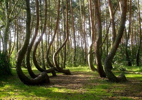 A lengyelországiGörbe-erdő mintegy négyszáz olyan fenyőből áll, melynek törzse 90 fokban elcsavarodik. A harmincas években ültetett fák emberi beavatkozás miatt lettek ilyenek.