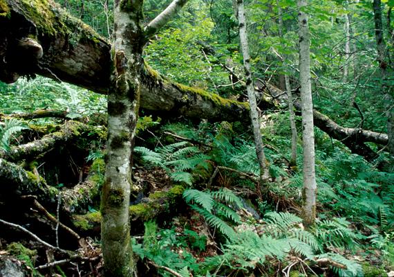 A norvégiai Trillemarka az utolsó ősi erdő az országban, egyúttal a világon is egyedülálló. Számos kihalófélben lévő fajnak ad otthont, fái pedig nagyon öregek.