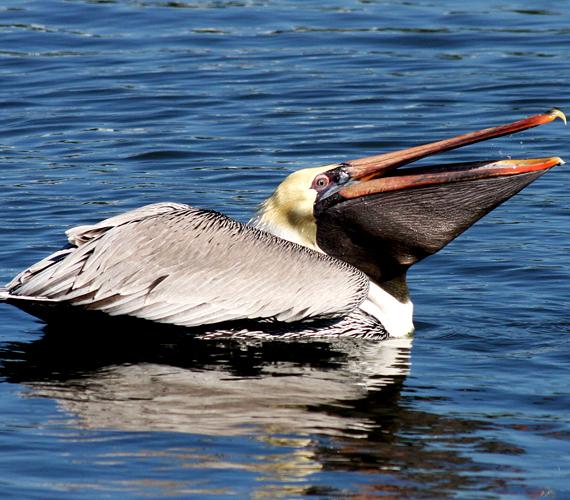 A hatalmas csőrükről és toroklebenyükről könnyen felismerhető barna pelikánok is tömegével fordulnak elő a szigeteken.