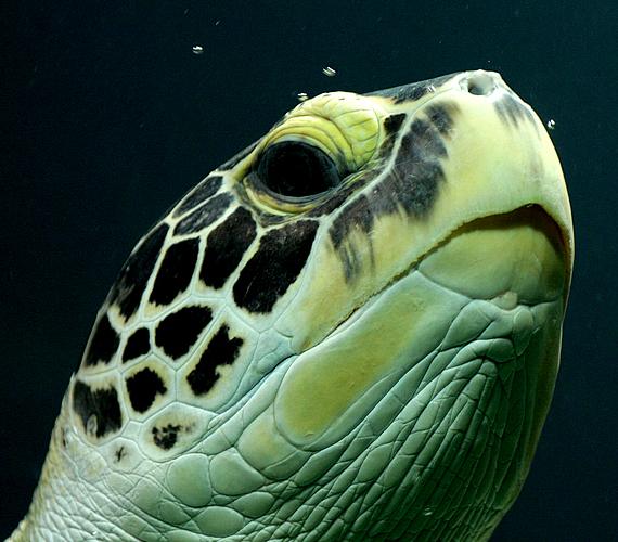 A levesteknősök sem vetik meg az élvezeteket: csak hagyják magukat sodortatni a tengervízzel, vagy épp a napon sütkéreznek.