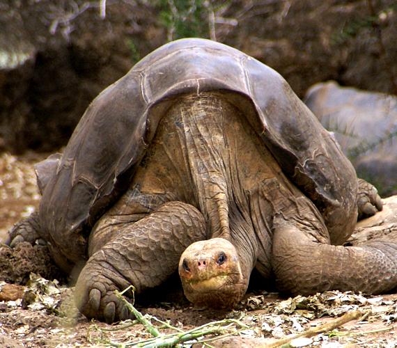 A galapagosi óriásteknősök csak a szigeteken találhatók meg. Lassan élnek, viszont annál tovább.