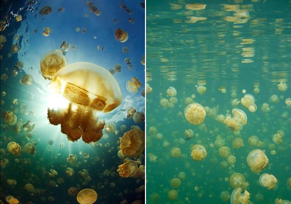 A mikronéziai Palau szigetország területén található Medúza-tóban csak úgy hemzsegnek az aranyló élőlények, amelyek igazán barátságosak.