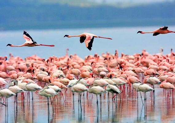 A kenyai Nakuru-tó különlegessége élővilágában rejlik, hiszen több ezer flamingó él a vízben, köszönhetően jó természeti adottságainak.
