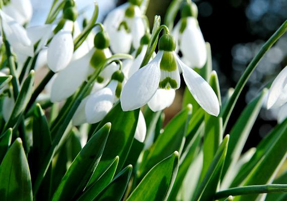 Az Egertől nem messze, a Bükk lábánál található Berek-erdőt már kora tavasszal hóvirágmező borítja.
