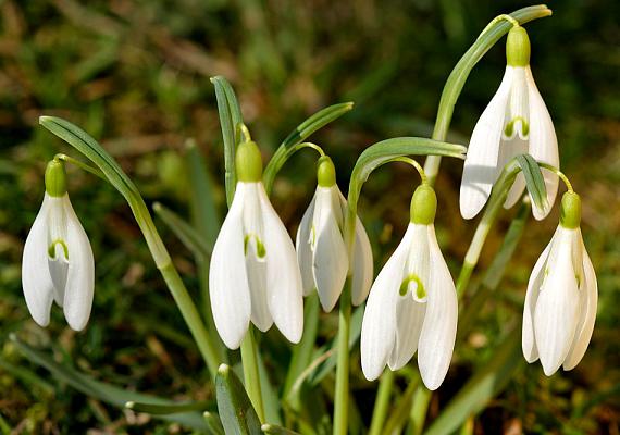 A Vas megyében található hegyháti Hollósi-erdő is nagy hóvirágos helyként ismert.
