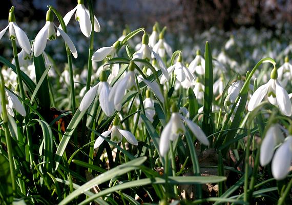 A Vas megyében található, 150 éves múlttal büszkélkedő Kámoni Arborétumba is érdemes ellátogatni a hóvirágzás idején.