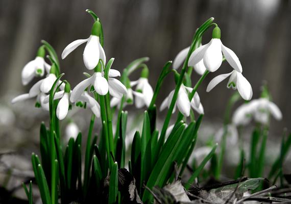A Győrtől nem messze fekvő Lébényi-erdő csenddel és meseszép, fehér virágszőnyeggel nyugtatja meg a kirándulókat.