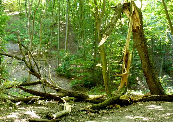 A börzsönyi Cserna-völgy ősi területét nagyarányú fakitermelés veszélyezteti - mint ahogy erre már többször is volt példa.