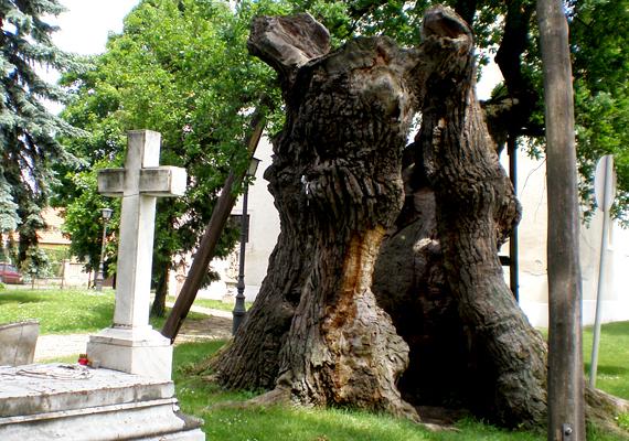 A hédervári Árpád-fa jelenleg az ország legidősebb fája. Még él, azonban a szakértők nem jósolnak neki többet néhány évnél.