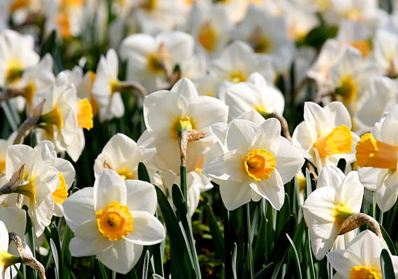 A Babócsa mellett található Basa-kert gyönyörű nárciszait egykor állítólag a háremhölgyek kedvéért ültették.