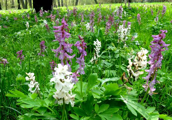 A Bakony gyönyörű kirándulóhely, többek között az itt nyíló, változatos tavaszi vadvirágok miatt is.