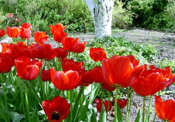 A Budai Arborétumot tavasszal tulipántenger borítja, ráadásul a fővárosból sem kell kimozdulnod, hogy gyönyörködj benne.