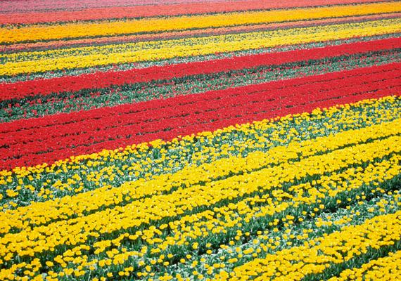 A negyedik helyen említik a hollandiai Lisse tulipánmezőit.