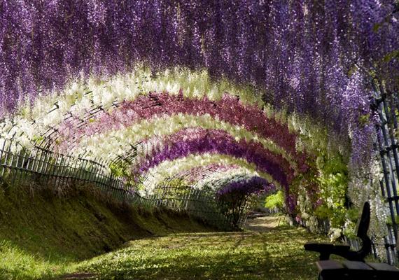 A gyönyörű Lilaakác-alagút a japán Kawachi Fuji-kertben varázsolja el a látogatókat.