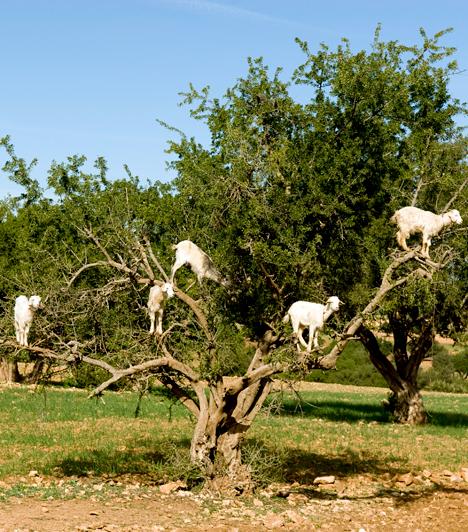 A híres marokkói kecskékA marokkói Essaouira közelében jellemző látvány, hogy akár öt-tíz kecske is legelészik a környéket beborító argánfák lombjai között. A kecskéket maguk a gazdák engedik a fák közé, ugyanis, miután a fa gyümölcsét megették, a hasznosítható magokat meghagyják vagy visszakérődzik, így könnyen össze lehet szedni őket.Kapcsolódó cikk:Ez a legviccesebb látvány az egész bolygón »