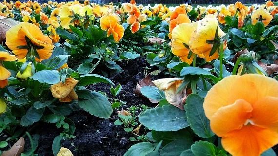 A pezsgő főváros szívében városlakóknak és turistáknak egyaránt jólesik megpihenni a Margitszigeten, ahol nemcsak a Rózsakertben, hanem más gyönyörű virágok, például árvácskák látványában is érdemes gyönyörködni.