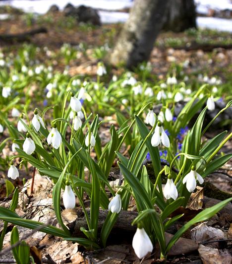 Alcsútdobozi hóvirágos                         A Vértestől keletre, Budapesttől pedig mindössze negyven kilométerre található Alcsúti Arborétum a Váli-völgy igazi gyöngyszeme. Számtalan növényritkaságán túl legnépszerűbb és legfőbb látványossága a tavaszi hóvirágnyílás, a fehér kis csodából ilyenkor 24 különféle faj található a kert területén.                         Képgalériánk a filomi.blogspot.com - margitszigeti kép -, illetve a www.orszagalbum.hu képei alapján készült, akiknek ezúton is köszönjük a segítséget.
