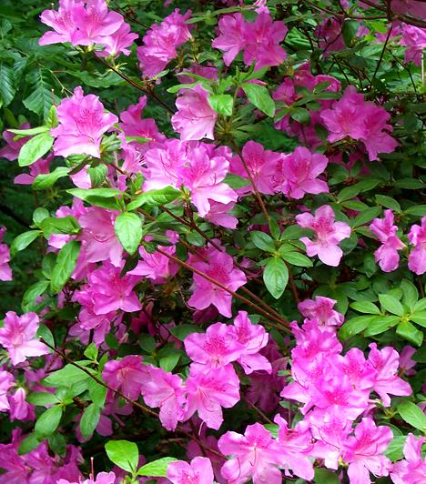 Jeli arborétum  A Vas megyében, Kám község határában található arborétum 107 hektáros területével hazánk egyik legnagyobb növénykertje. Számos ritka fajnak otthont ad, legszebb látnivalója mégis a májusi rododendronvirágzás, mikor ezerszínű sziromfelhő borítja be a környéket, és mézédes illat árad a levegőben.  Kapcsolódó cikk: A 3 legszínpompásabb arborétum itthon »