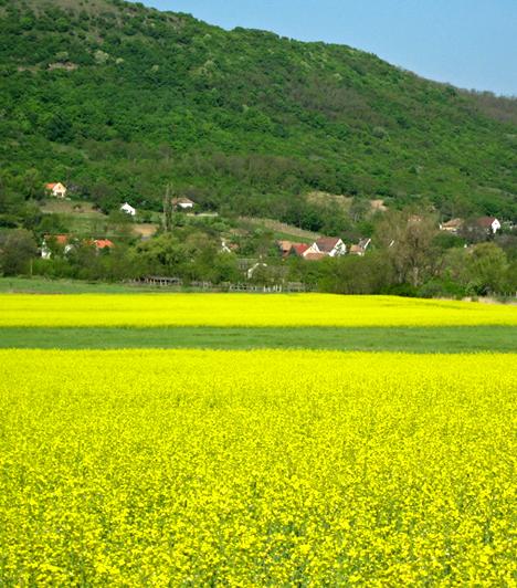 Káli repcetenger  Bár hazánk számos területén virágzik nyár elején a sárgán vibráló repce, a Káli-medence lankáival szorosan összeforrt látványa, részben ez adja ugyanis azt a mediterrán hangulatot a környéknek, mely miatt sokan magyar Toszkánaként is emlegetik.
