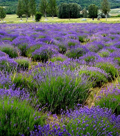 Tihanyi levendulás  A tihanyi kirándulás legideálisabb időpontja június vége, illetve július eleje, ilyenkor virágzik ugyanis az illatos levendula, mely ma már mintegy harminc hektárnyi területet foglal el a Belső-tó partján. A régi levendulás virágai igazi francia ősökkel büszkélkedhetnek.  Kapcsolódó cikk: Nézd meg a magyar Provance-t! - 3 tündérszép falu itthon »