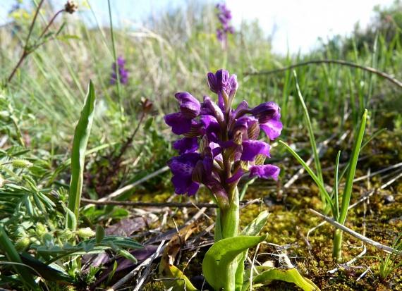 A leginkább a Magyar-középhegységben és a Dunántúlon előforduló csodaszép agárkosbor - Orchis morio - mint minden orchideaféle, hazánkban védett, eszmei értéke 10 ezer forint. A fotót Seres Milán készítette, köszönjük a képet a onedoor.hu-nak.