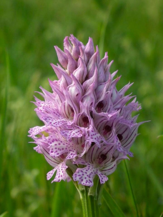 Közelebbről jól látszik, igencsak találó a neve, a kinyíló szirmokat ugyanis apró, sűrűn elhelyezkedő pöttyök díszítik. Érdekesség, hogy már évek óta tervben van egy botfai orchideatúra, mely várhatóan idén májusban meg is valósul. A részletekről itt olvashatsz.
