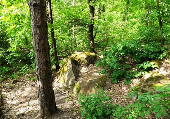 A Pilisben, Budakalásztól nem messze kövek bújnak meg az erdőben - legalábbis a szóbeszéd szerint -, amelyeket sokan Szikambria település maradványainak tulajdonítanak. A képen az egyik leghíresebb kő, az állítólagos Szarkofág-kő látható. Itt tudhatsz meg többet a rejtélyes területről.