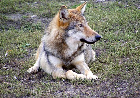 A parkban 2000-ben a farkasok számára is kifutót alakítottak ki, ennek másfél hektáros területén először 18 európai szürkefarkas kapott helyet, akik később további farkasokat, többek között egy fehér farkast is társukul kaptak.
