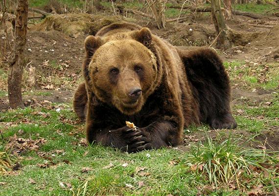 Az 1998-ban megnyitott, Közép-Európában egyedülállónak számító Veresegyházi Medveotthon területén természetes környezetükben figyelheted meg az itt élő 39 barnamedvét.