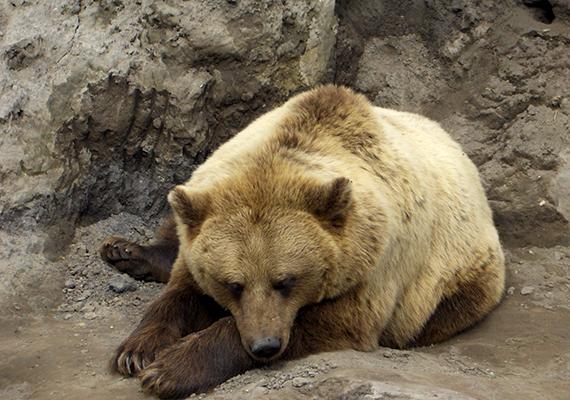 """""""Ha azonban gyertyaszentelő napján azt látja a medve, hogy rút, zimankós förmeteg van; hordja a szél a hópelyhet, csikorognak a fák sudarai, s a lóbált száraz ágon ugyancsak károg a fekete varjúsereg, mintha mondaná: reszkessetek, sohasem lesz többet nyár; (…) ha a farkas ordít az erdő mélyén: akkor a medve megrázza bundáját, megtörli szemeit és kinn marad; nem megy vissza többet odújába, hanem nekiindul elszánt jókedvvel az erdőnek. Mert a medve tudja azt jól, hogy a tél most adja ki utolsó mérgét. Csak hadd fújjon, hadd havazzon, hadd dörömböljön: minél jobban erőlteti haragját, annál hamarább vége lesz."""""""