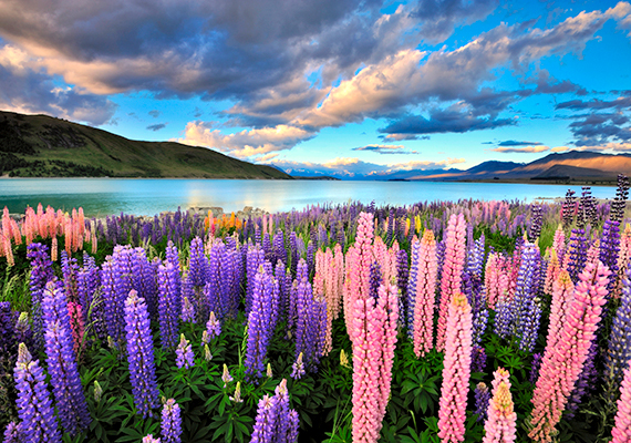 Új-Zéland számtalan páratlan úti célja közül is kiemelkedik a Tekapo-tó, melynek látványát a partját beborító csillagfürt virágok teszik még felejthetetlenebbé.
