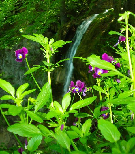 Tavaszi éledezés  Nemcsak a botanikus kert bont színpompás szirmokat a tavaszi ébredésben, hanem a vízesés környékét is ellepik a tündéri vadvirágok. Érdemes megcsodálni.  Képgalériánk az Országalbum.hu weboldal együttműködésével készült, akiknek ezúton is köszönjük a segítséget.