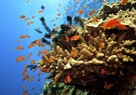 Négyszáznál is több korallfaj építi a zátonyt.