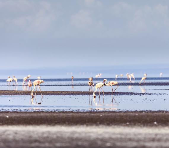 A flamingók előszeretettel fogyasztanak cianobaktériumot, ezért a tó vonzza őket. Azonban fészket ők sem a vízben raknak, hanem kis szigeteket építenek, és azokra költenek.