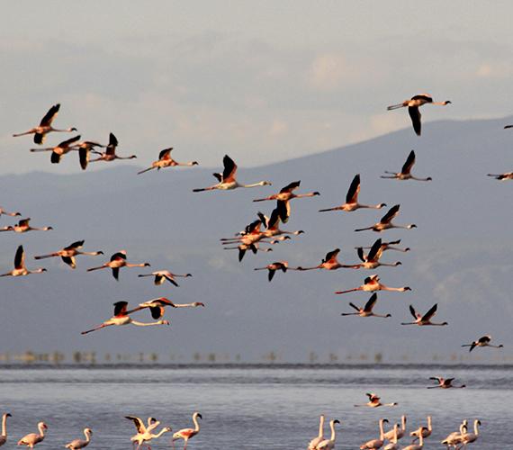 Ez a leleményesség azért is kedvez a flamingószaporulatnak, mert a tó vize maró hatású, így a fészkeket nem fenyegeti az a veszély, hogy a ragadozók megtámadják őket.