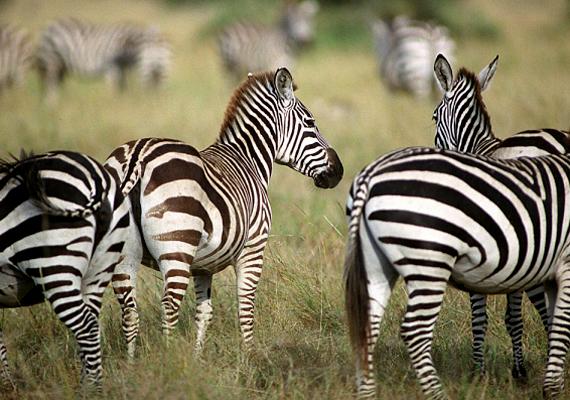 A kráterben mintegy 30 ezer állat él, itt a legnagyobb a vadállomány egyedsűrűsége egész Afrikában.