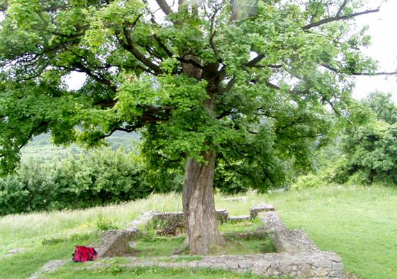 A pálosok rendjéről sokan úgy tartják, nem véletlenül volt a központjuk éppen a Pilisben, ők őrizték ugyanis titkait, illetve az ősi tudást, amelynek szentsége miatt állítólag a felügyeletük nélkül még a királyok sem léphettek be a hegyvidék legbelsőbb, legszentebb részeibe. A képen Pilisszentlélek pálos kolostorának romjai láthatóak, amelyek között mintegy az élet szimbólumaként nőtt ki a hatalmas fa. Ha többet szeretnél tudni a Pilis titkairól, kattints ide!