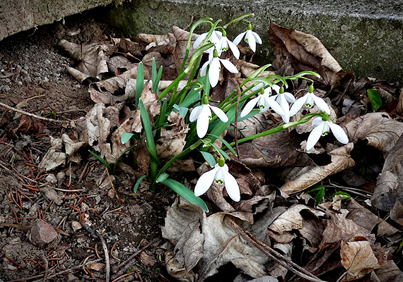 Márciusi hóvirág a régi sírok között. Nemcsak a falu sorsa miatt őriznek azonban szomorú emlékeket a környékbeli erdők, dombok, Pusztamarót környéke ugyanis az egyik legtragikusabb magyar történelmi eseménynek is színhelyéül szolgált.
