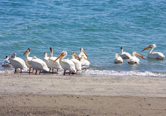 A tó arról is híres, hogy az Amerikai Egyesült Államok legnagyobb fehérpelikán-állományának ad otthont.