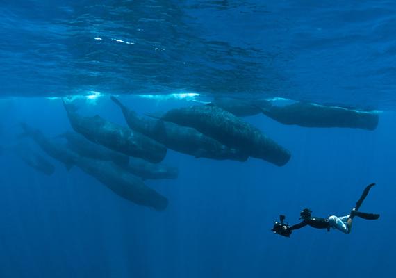 Egy operatőr - Simon Enderby - ámbráscetekről készít felvételeket a víz alatt.