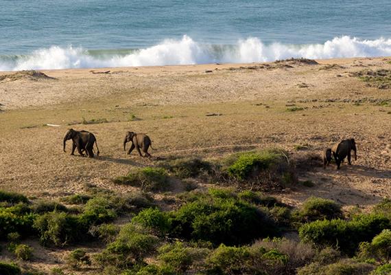 Elefántok nagy számban találhatóak a sziget egész területén. Ez a kisebb csoport itt épp az Indiai-óceánhoz tart fürdőzni.
