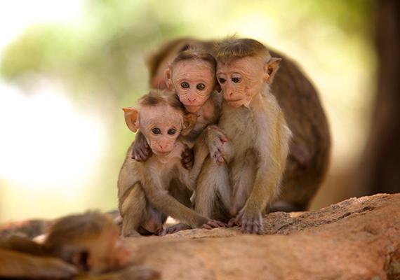 Ceyloni makákókölykök pózolnak a kamerának. Az ősi romok közelében gyakran felbukkanó állatokat templomok majmainak is nevezik.