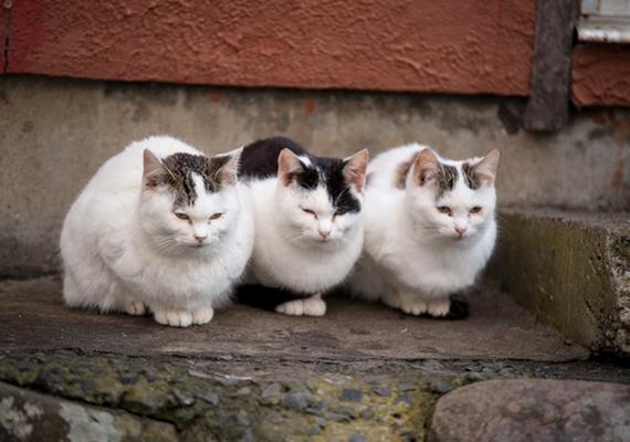 A helyiek tisztelik és szeretik a macskákat, úgy tartják, az ő jólétük számukra is szerencsét, boldogságot hoz.