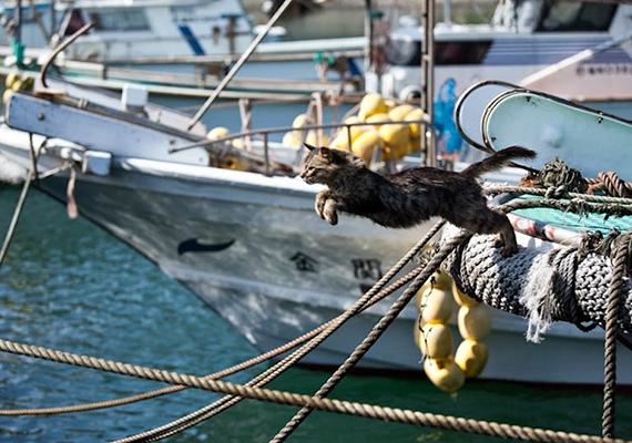 Később a cicák elszaporodtak, a helyiek azonban jó szívvel nézték mindezt - a sziget környékén tevékenykedő halászok számára is szerencsét jelentettek, viselkedésükből igyekeztek például megjósolni, milyen idő és milyen fogás várható.