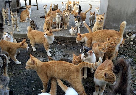 A cicákat kezdetben a selyemhernyók védelme miatt tartották a szigeten élők, utóbbiaknak ugyanis az egerek legfőbb természetes ellenségeik közé tartoznak.
