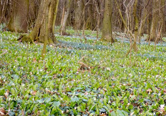 Erdei tyúktaréj- és medvehagymaszőnyeg a kacsótai erdőben. Kirsch Teréz fotója.