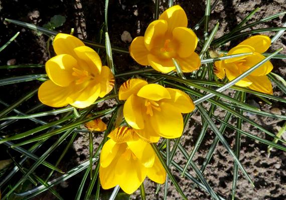 Az első tavaszi virágok Sümegen. Simonyai Hugi fotója.