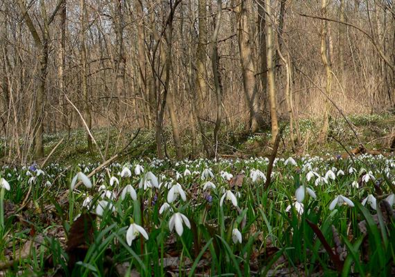 Persze nemcsak az arborétumok területén találni összefüggő hóvirágmezőt, az ország számos erdejében és más helyén is gyönyörködhetsz a kis virágokban, ez a kép például a dunai, adonyi Nagy-sziget hóvirágszőnyegéről készült.