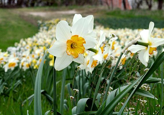 A tavasz egyik legelső és legszebb virágának, egyúttal a remény szimbólumának számít a nárcisz, melynek szépségében szintén számos helyen gyönyörködhetsz, nárciszairól híres például a babócsai Basa-kert is, de például a Szentendrei-szigeten is található csodaszép, összefüggő nárciszmező - a fenti kép is itt készült.