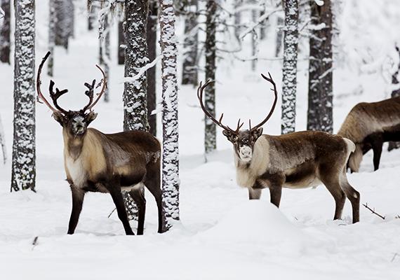 A tél egyik legszebb jelenségének tartják a svédországi rénszarvasvonulást is, melynek során rénszarvasok tízezrei indulnak útnak a szárazföld belseje felé, hogy a hidegtől és a szelektől védett menedéket találjanak.